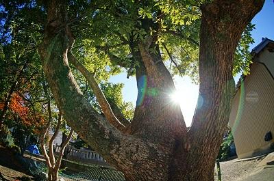 三明神社の大木