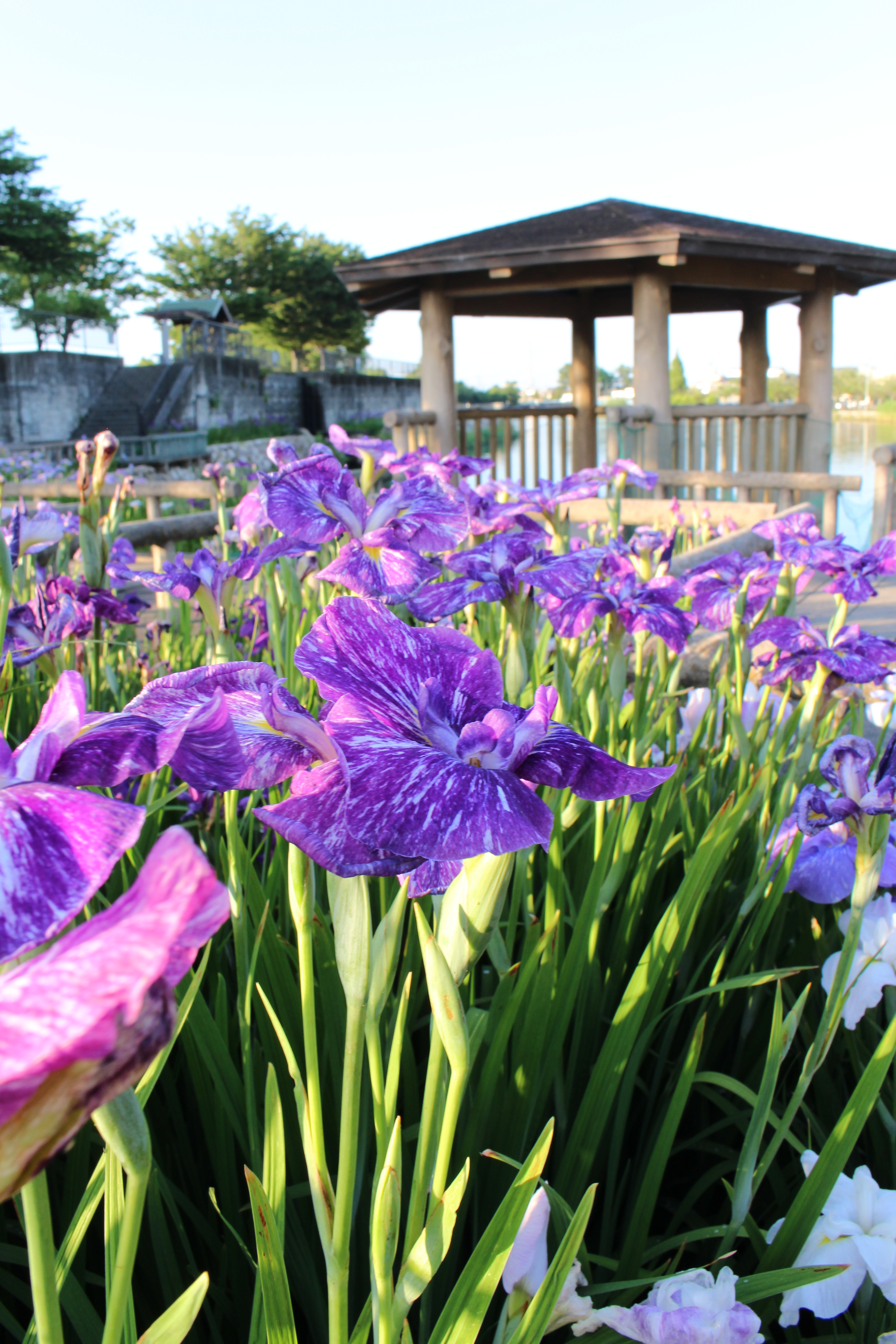 Saya River wound-go park iris