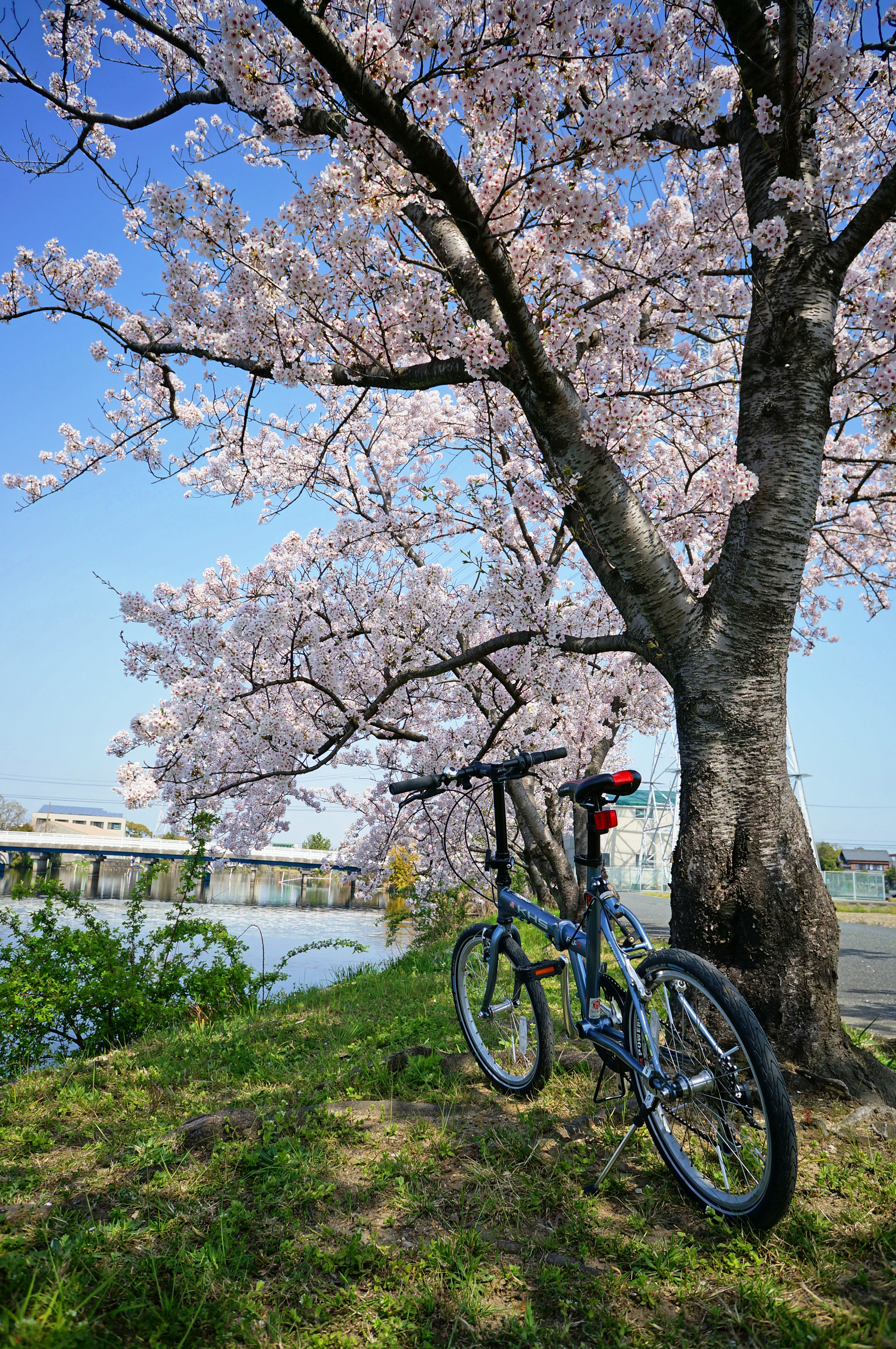 Saya River row of cherry blossom trees and bicycle