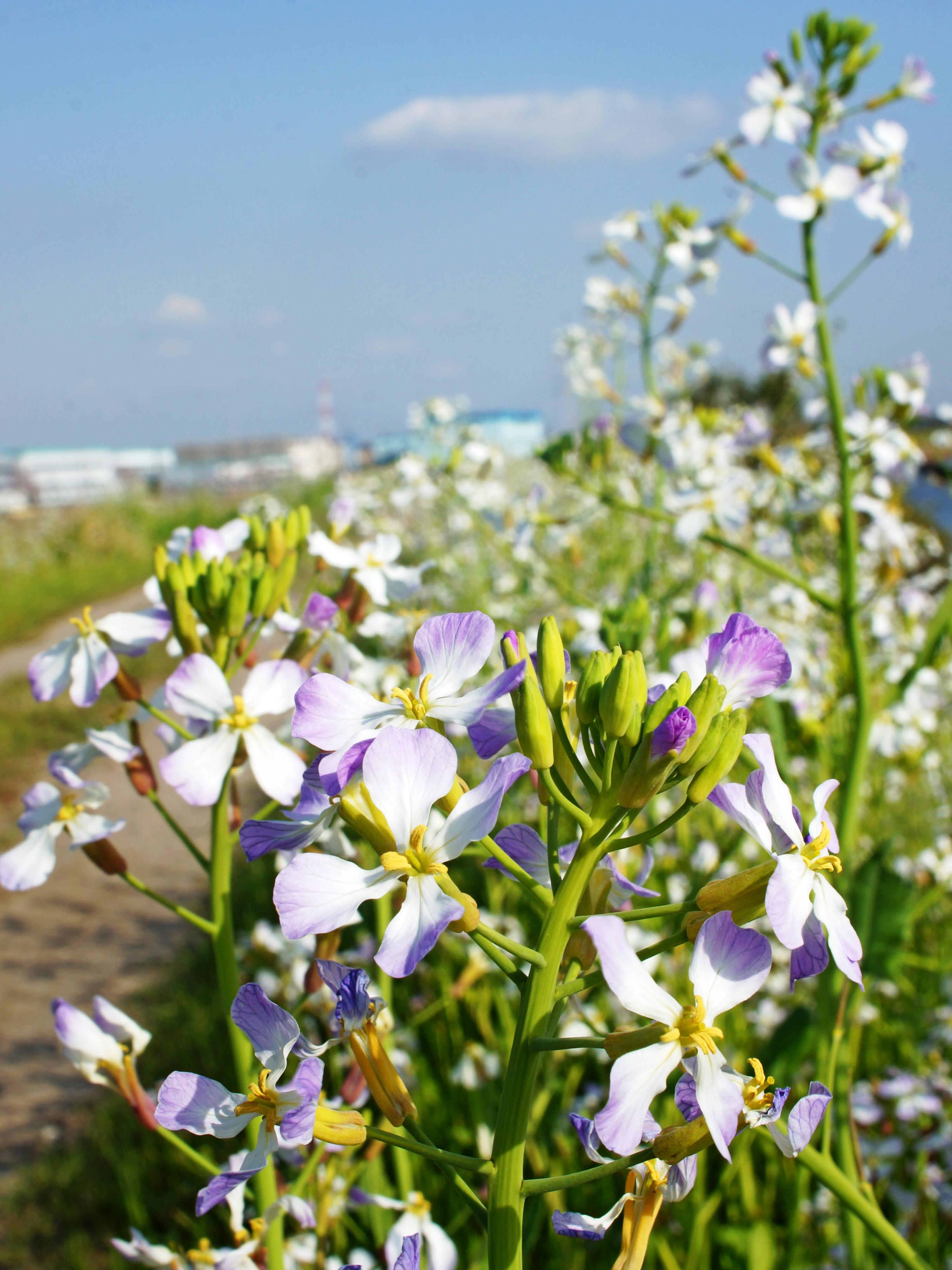 善太川浜大根の花