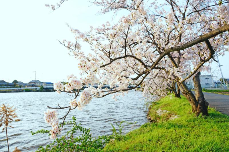 Cherry blossoms of Saya riverside