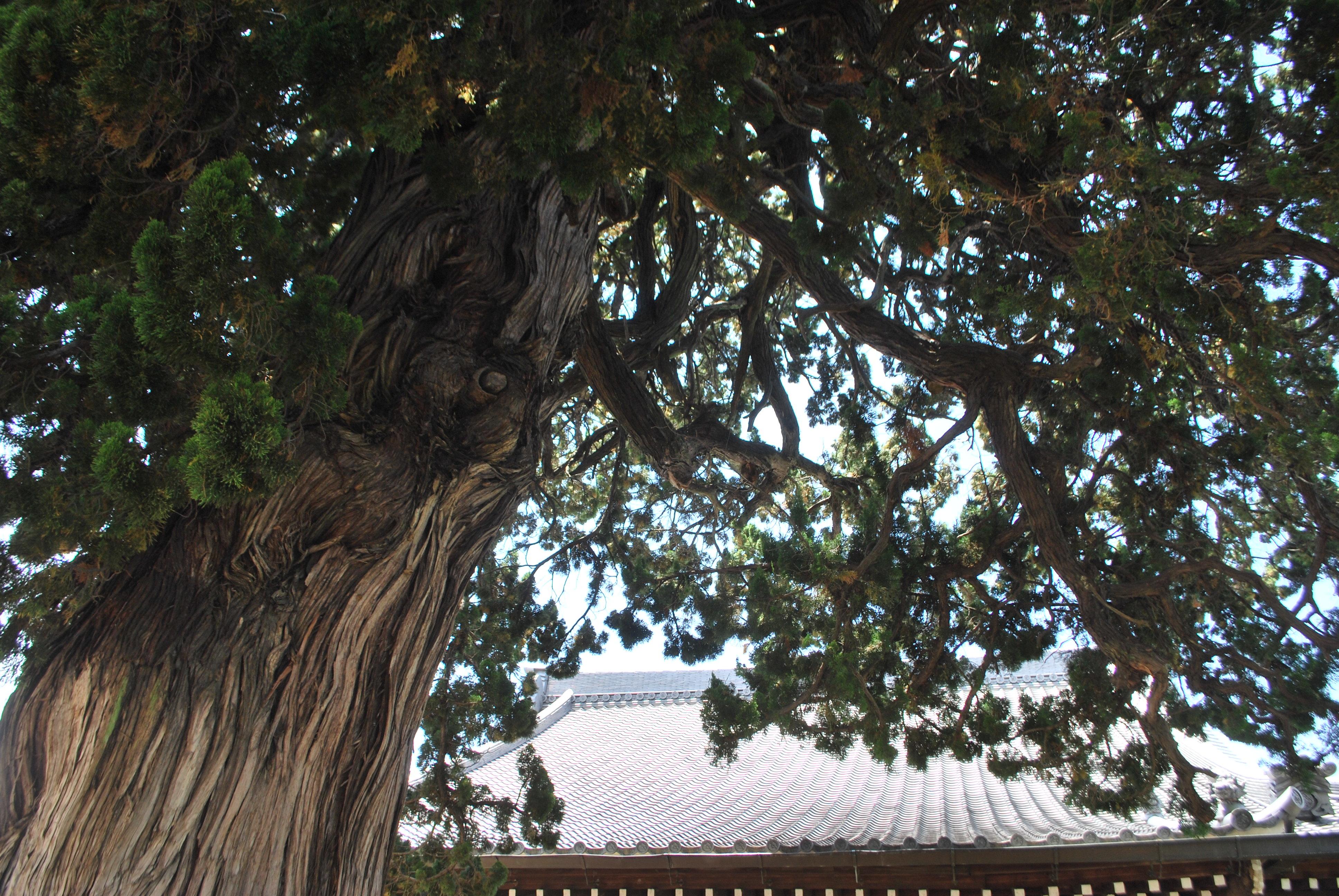 Big tree of treasure lotus temple Juniperus chinensis