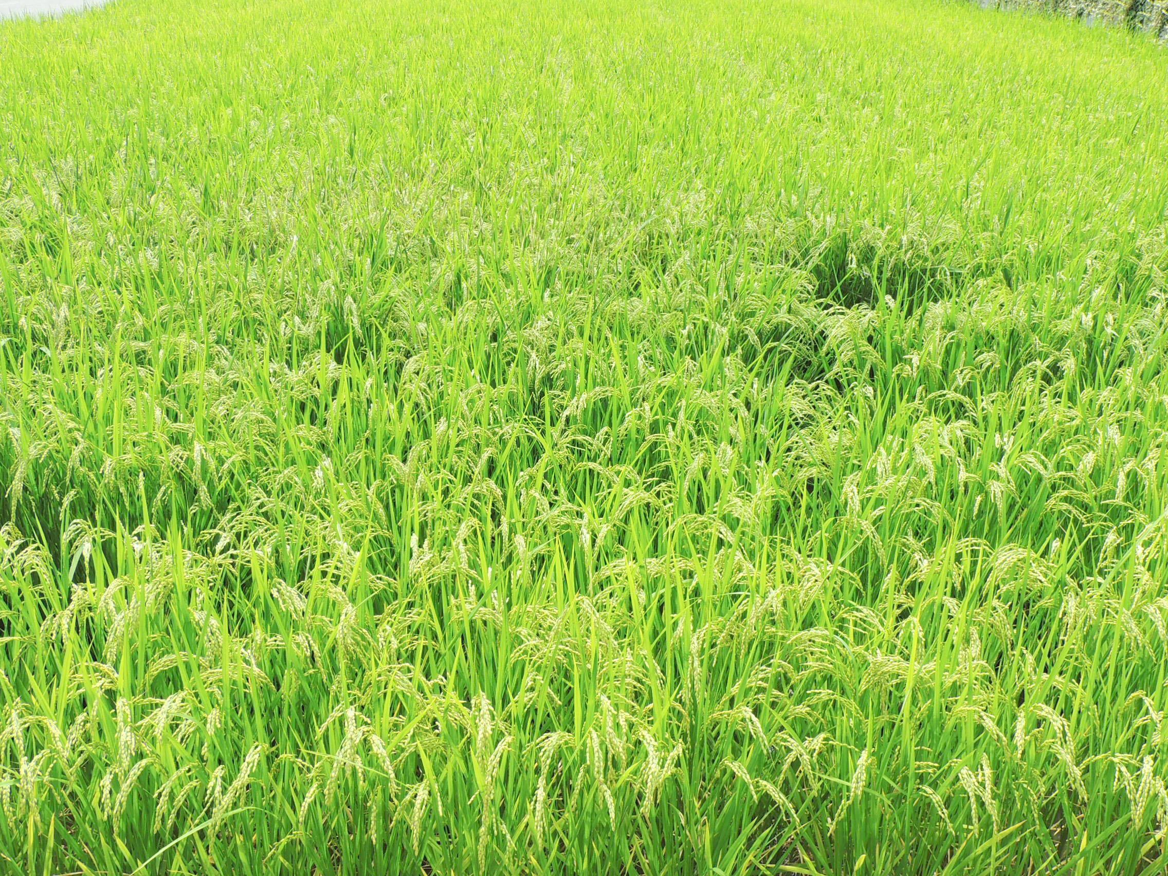 Kanie-cho rice field