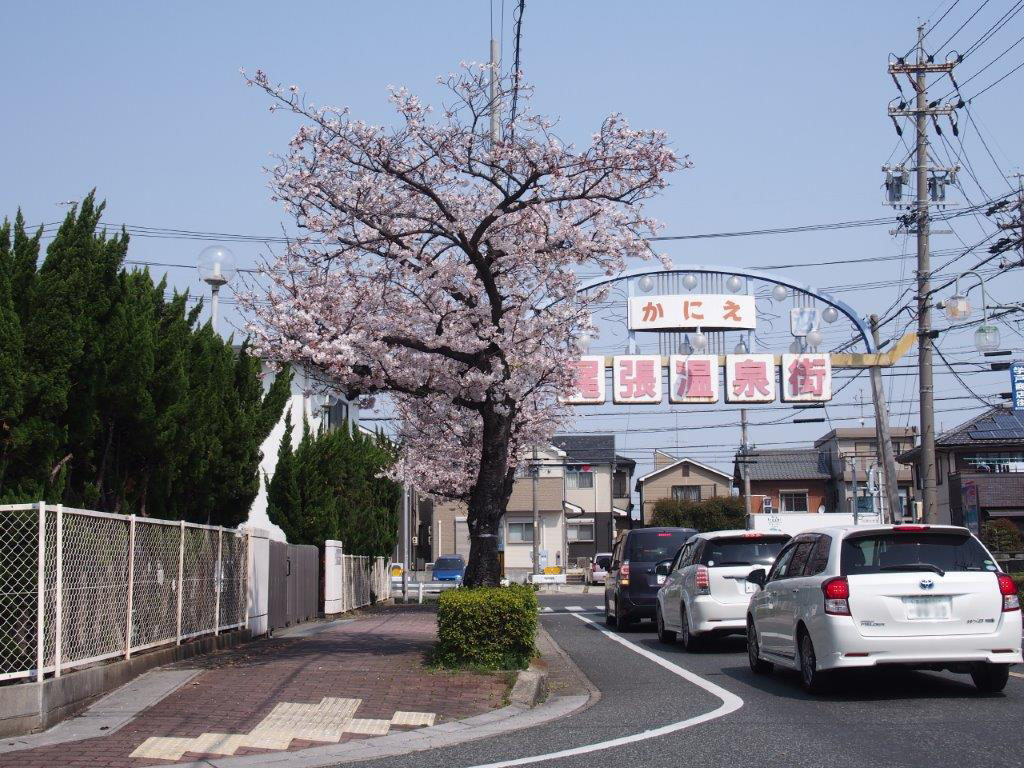 Cherry blossoms of Owari Onsen-dori St.